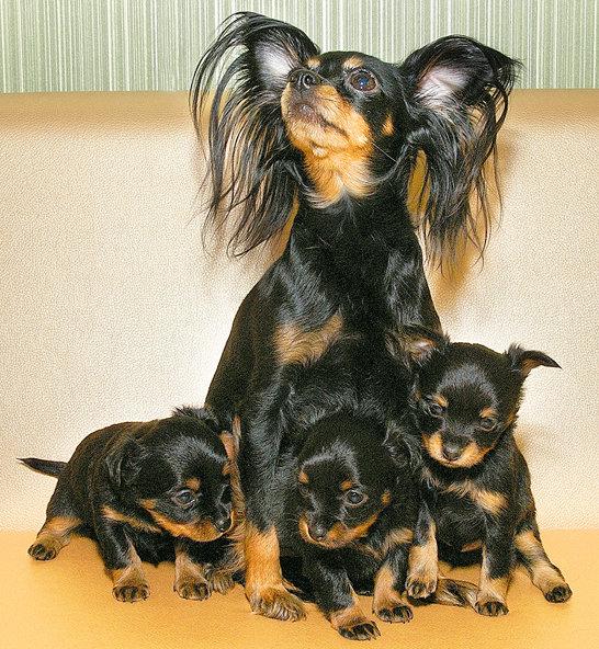 Фото той терьер длинношерстный щенки