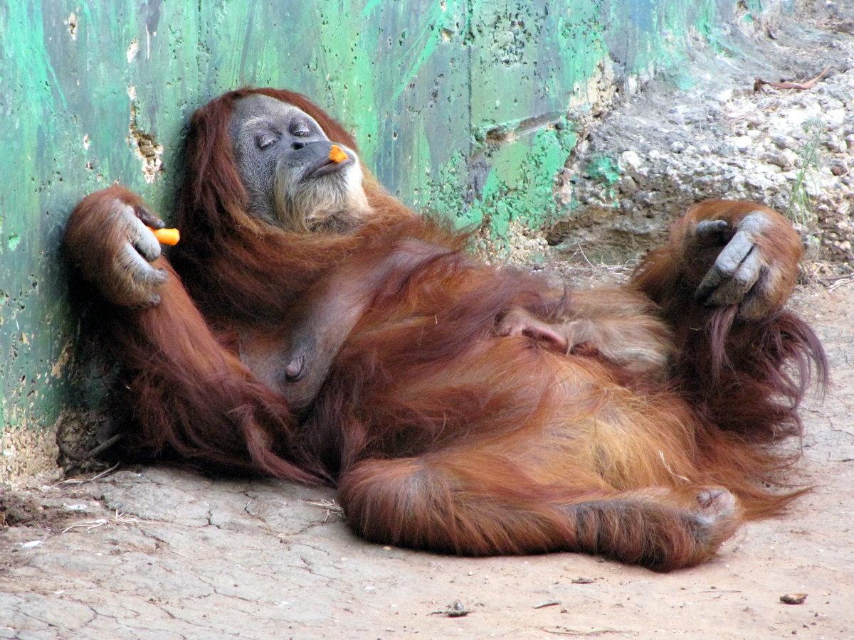 Орангутанг смешные фото