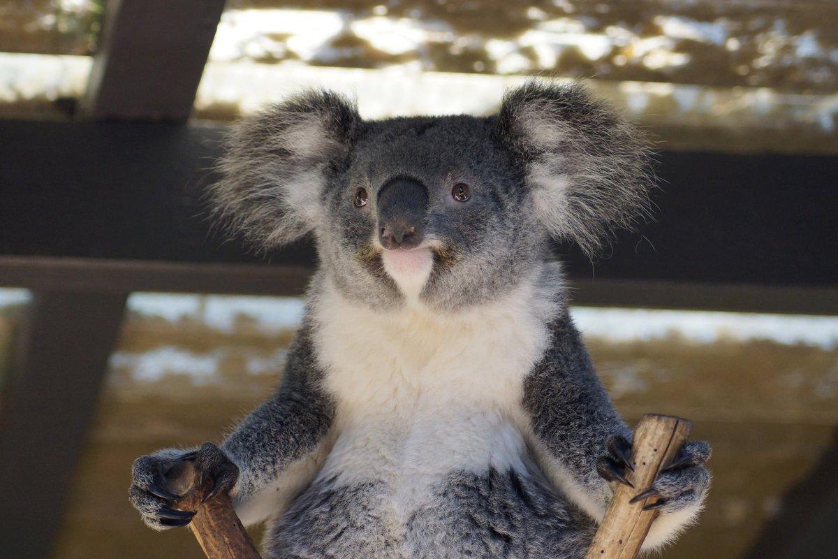 Смешная картинка коала, картинки про