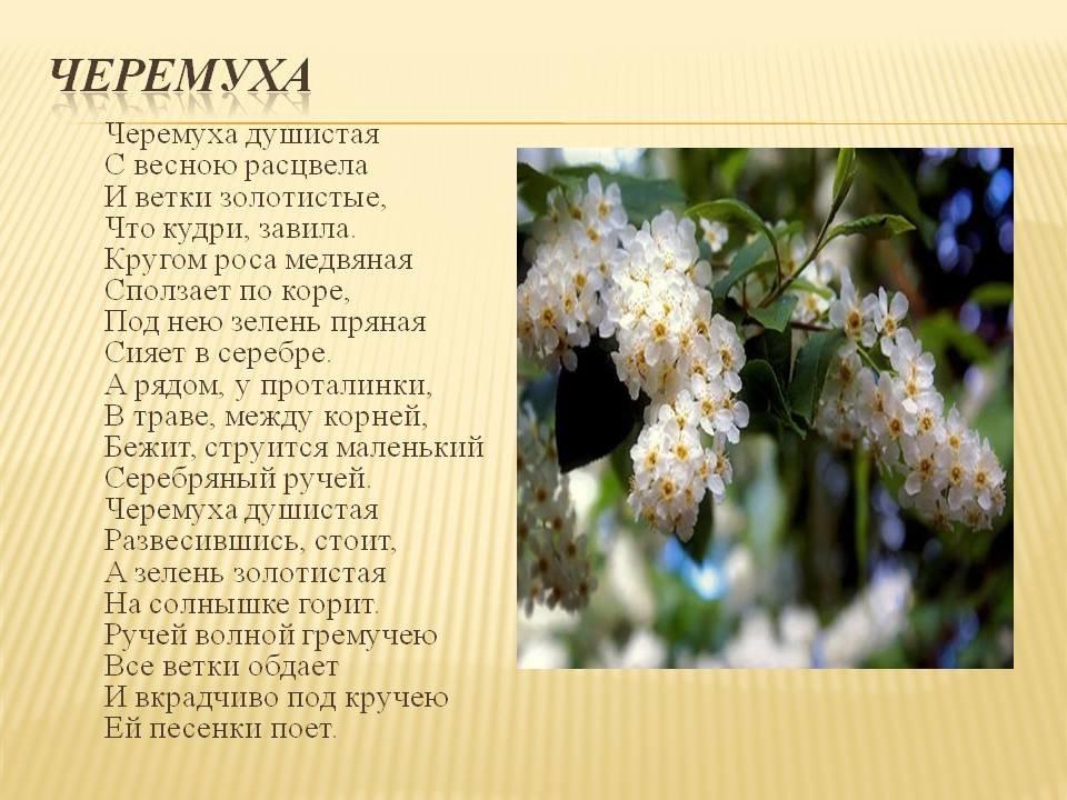 Картинки джона, картинки с черемухой с цитатами из стихотворению есенина черемуха