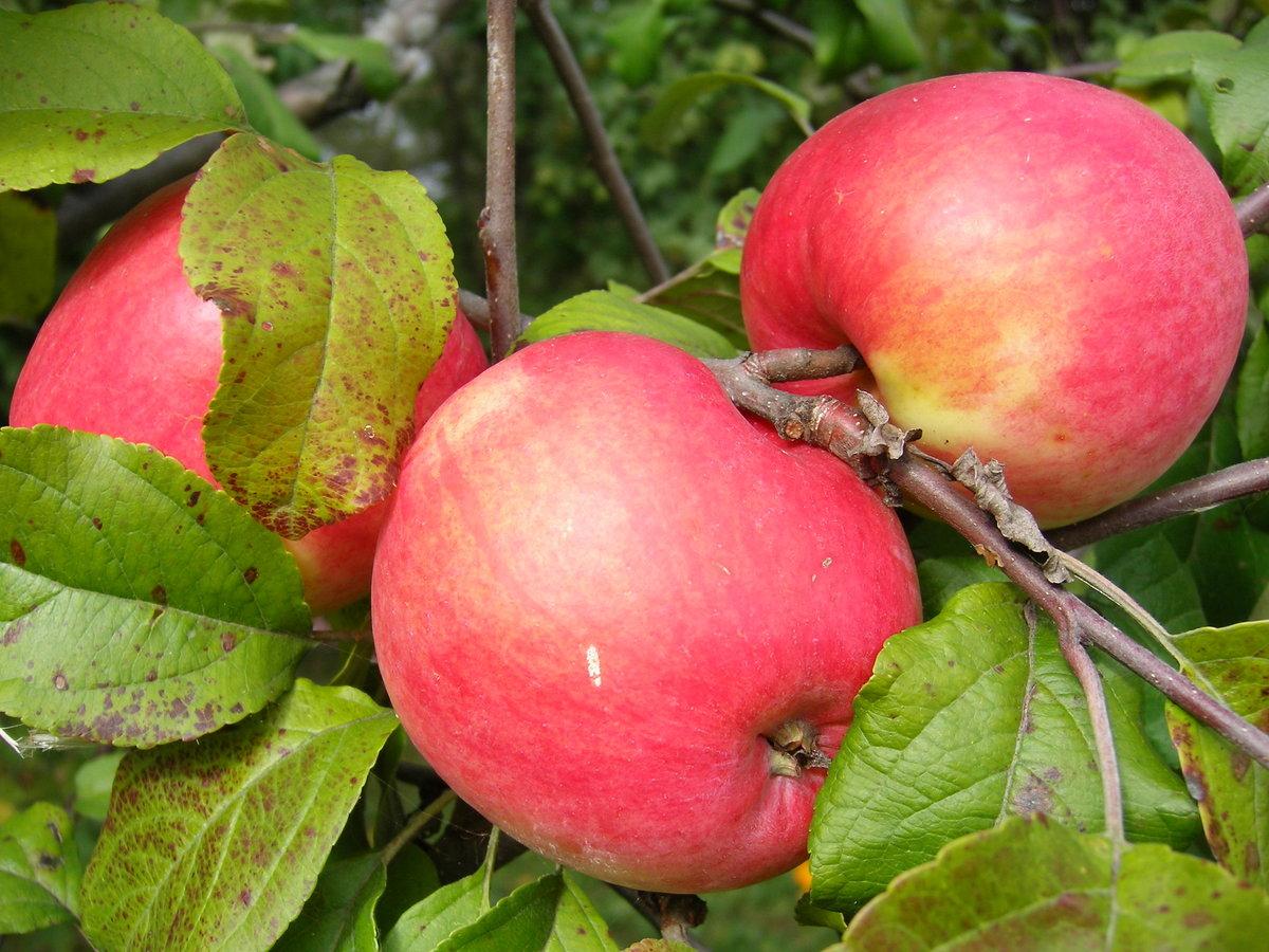 начались яблоня шафран саратовский описание фото узнаете