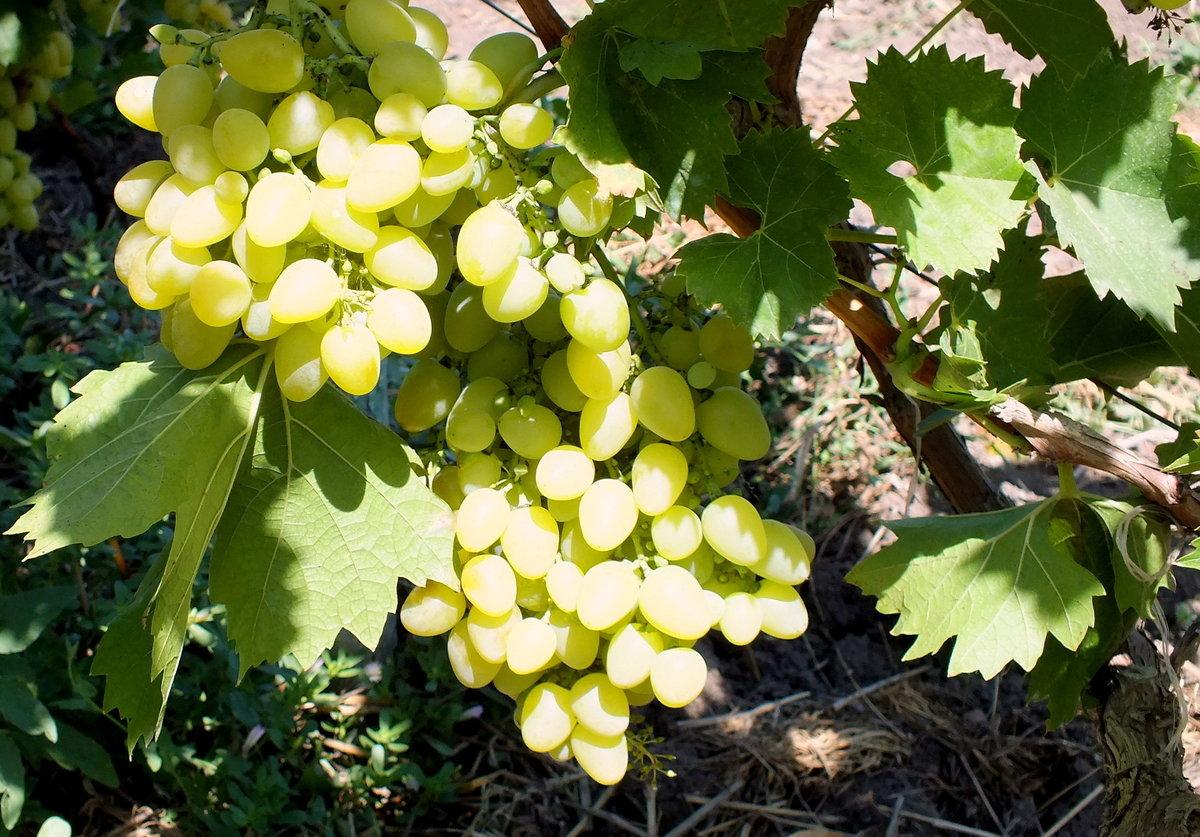 повысит надежность фото винограда новая аркадия помидорам