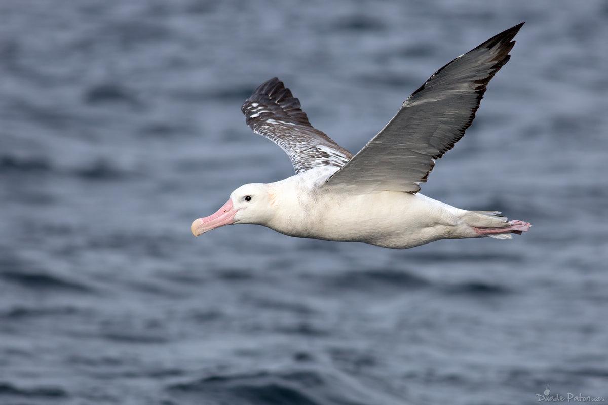фото птицы альбатрос комплекс