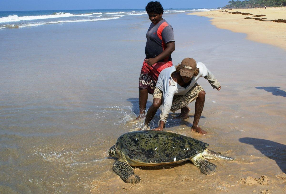 клуб приглашает гигантские черепахи на шри ланка фото шницель зелёным