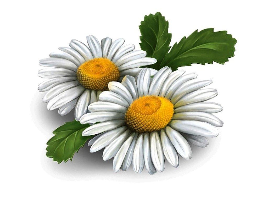 Цветок ромашки картинки для детей