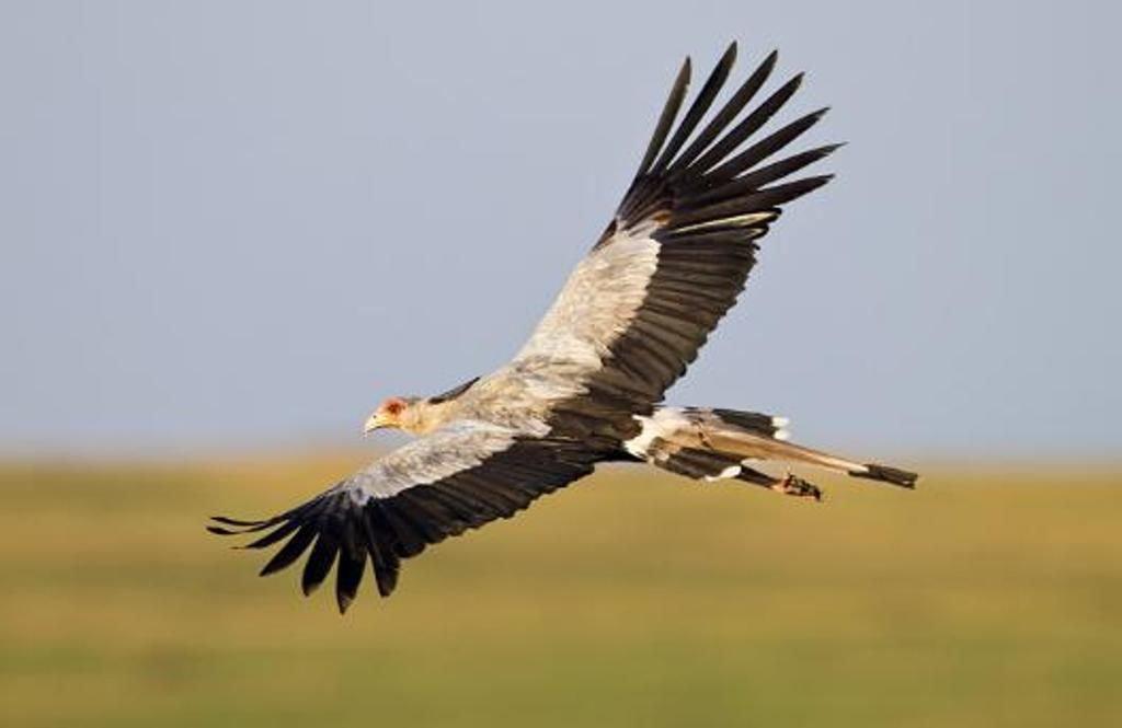 Полет птицы-секретаря