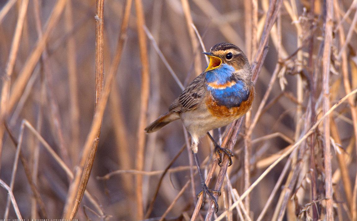 птицы ярославской области картинки трюк используется многими