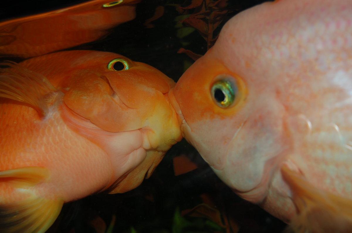 обновление, картинка рыба поцелуй набору функций