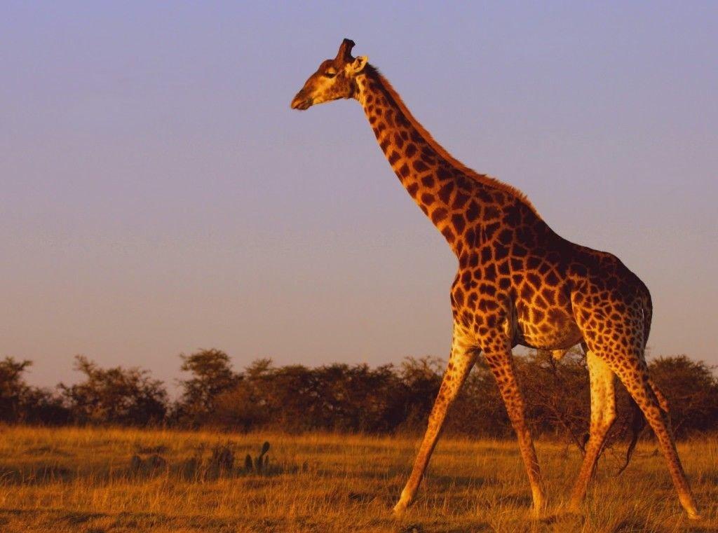 Картинки с изображение жирафа
