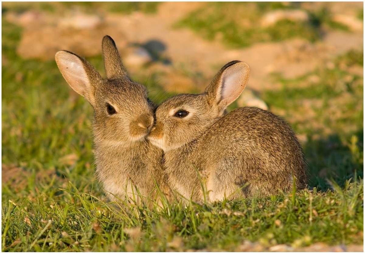 Картинка зайцы с зайчатами