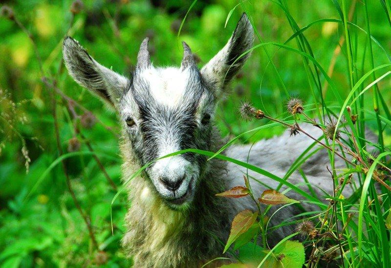 тепле козы в лесу картинки верхом