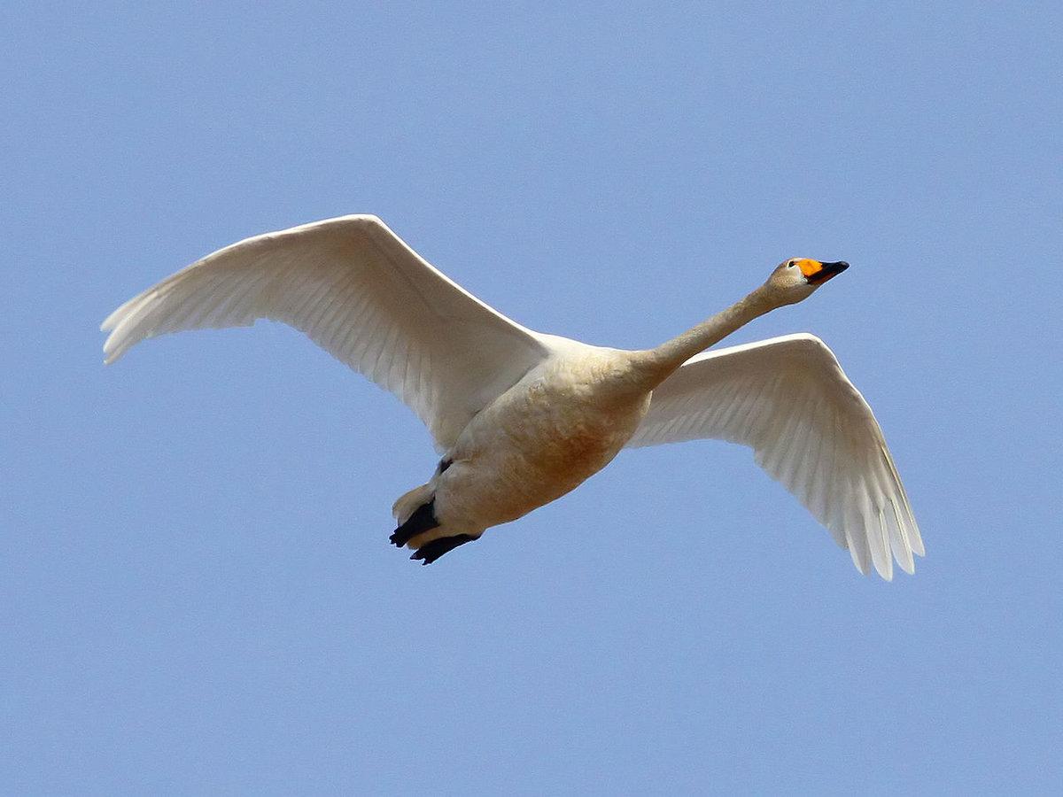 при этом картинки летающего лебедя одной