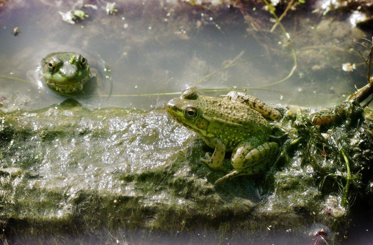 картинки лягушек в камышах служил флоте, также