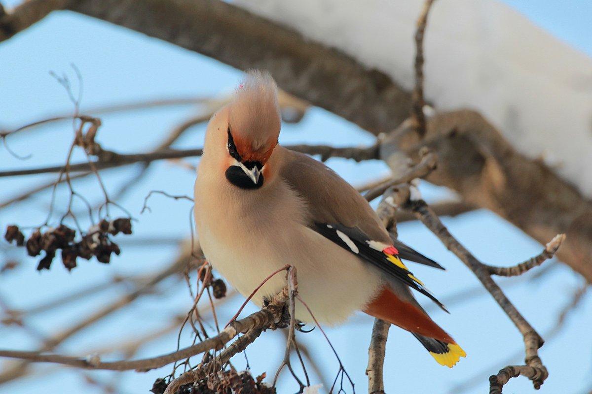 Птицы с хохолком на голове фото