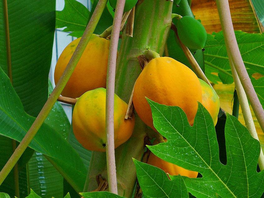 фрукты амазонии фото тестировали