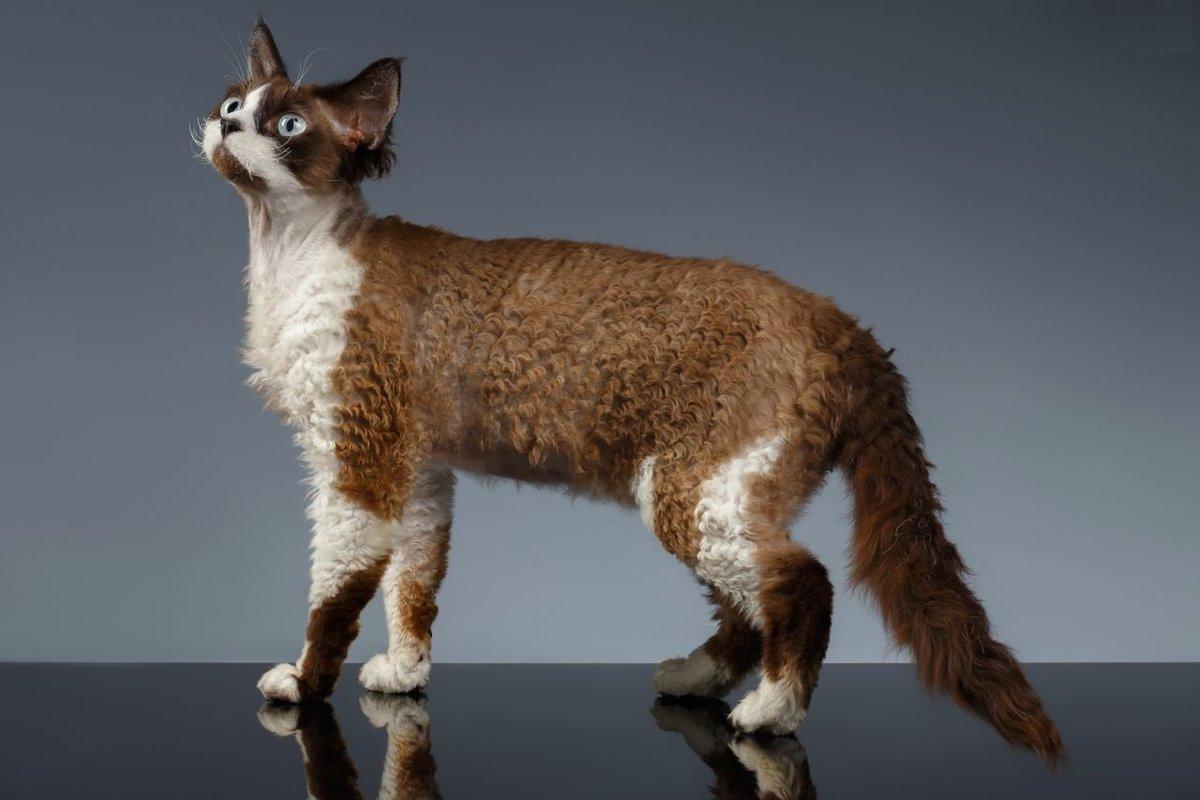 Удивительная порода кошек девон-рекс