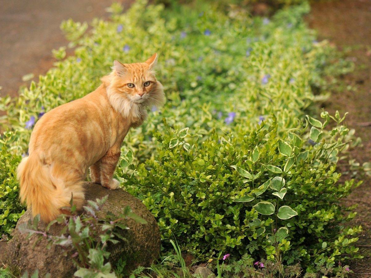 Рыжий пушистый кот на фоне зелени.