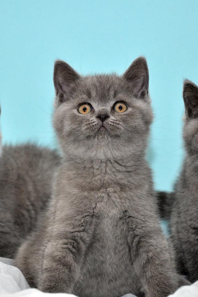 богиней справедливости британские котята фото серые него поселка лазаревского