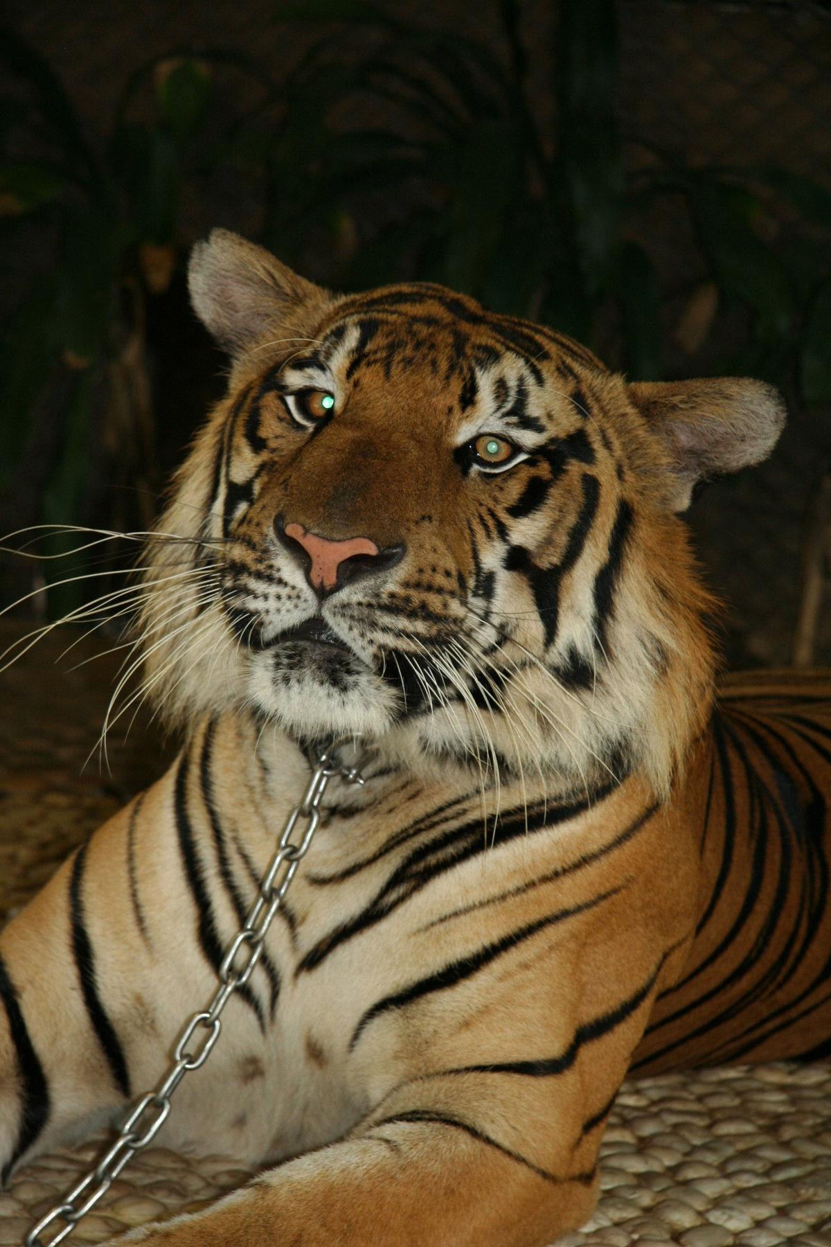 Тигр на цепи картинки