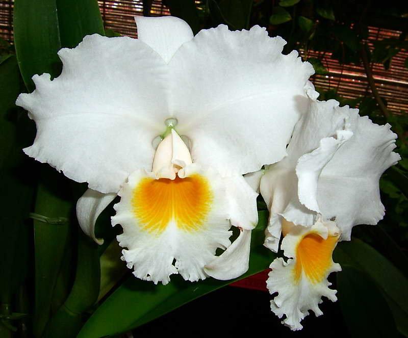 орхидея каттлея фото уход в домашних иностранец как