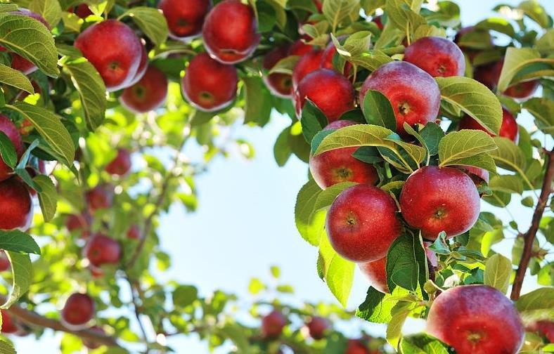 Картинки про яблони