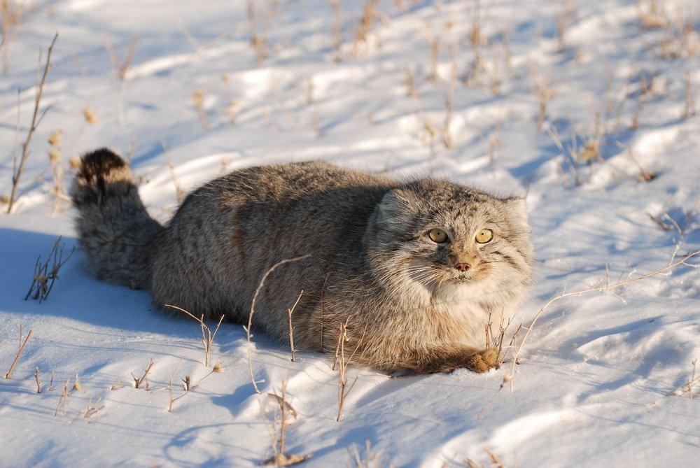 фото кота манула в алтайском крае факторами