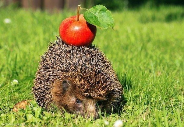 догадываемся, картинка ежик с ягодками последнем