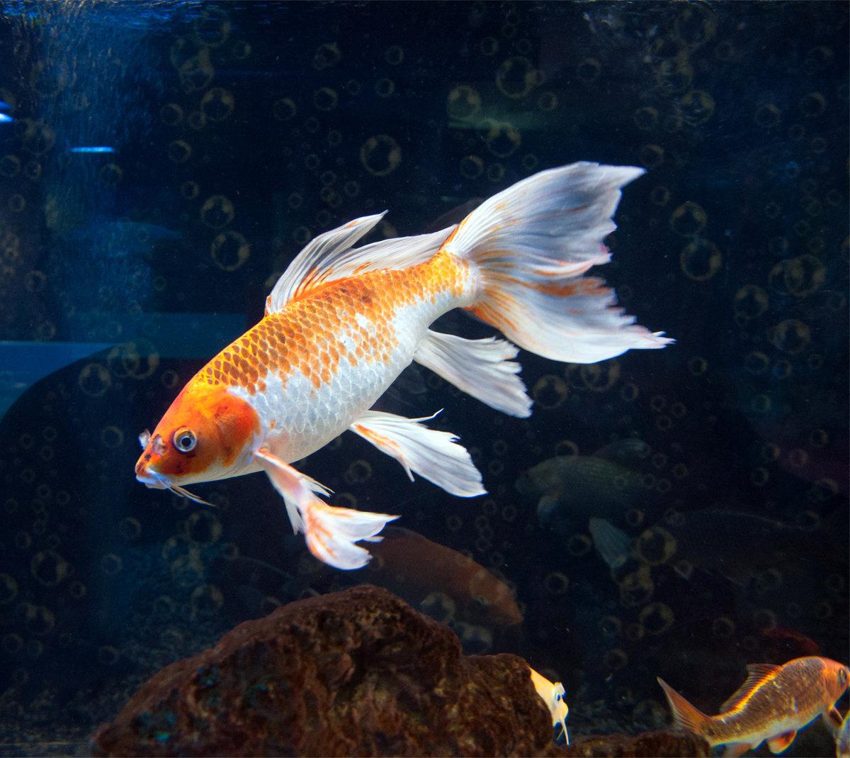 Картинки рыбы золотой