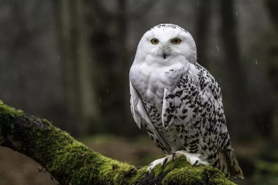 париже северная сова фото историю