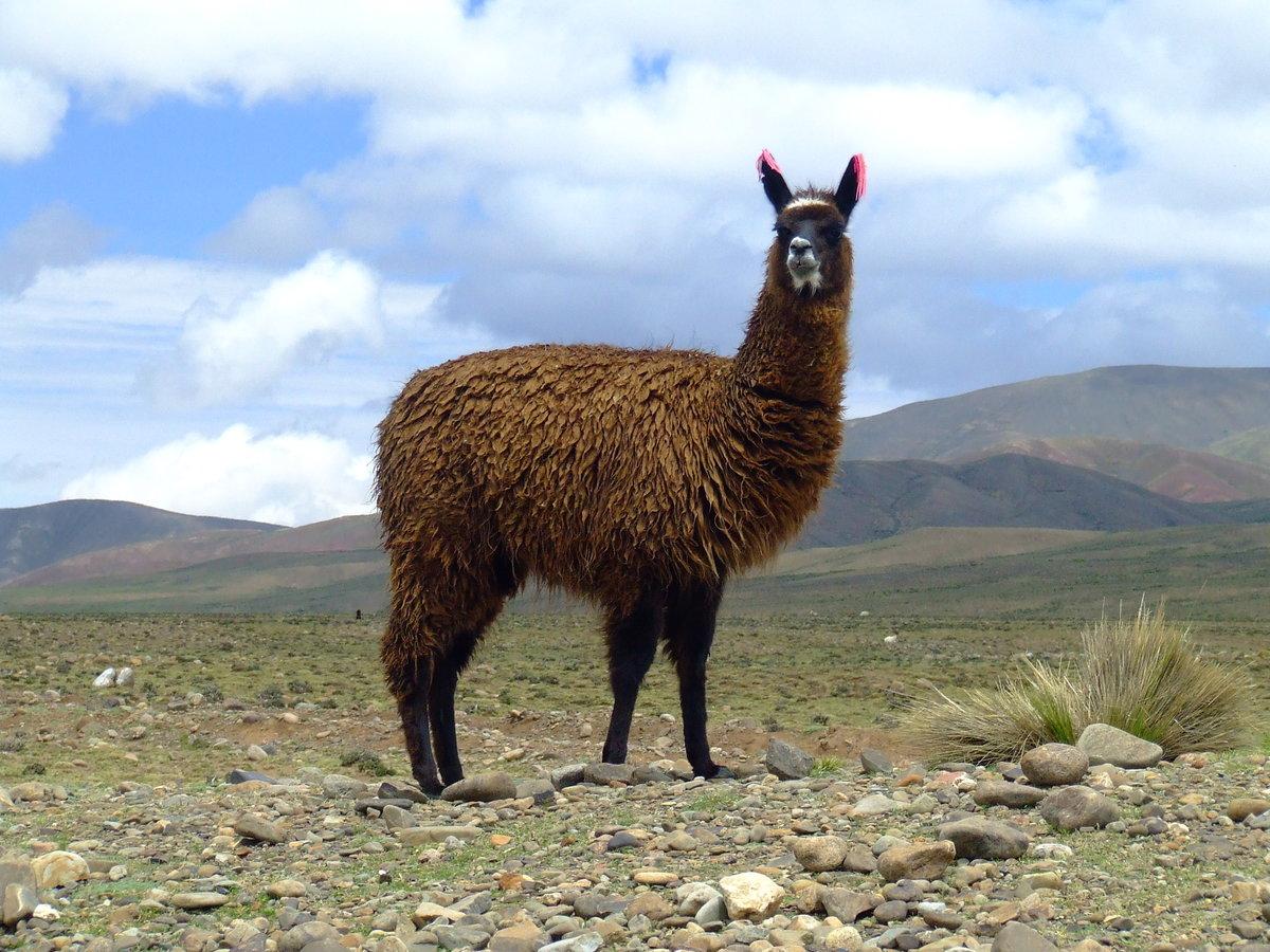 Животное лама картинки