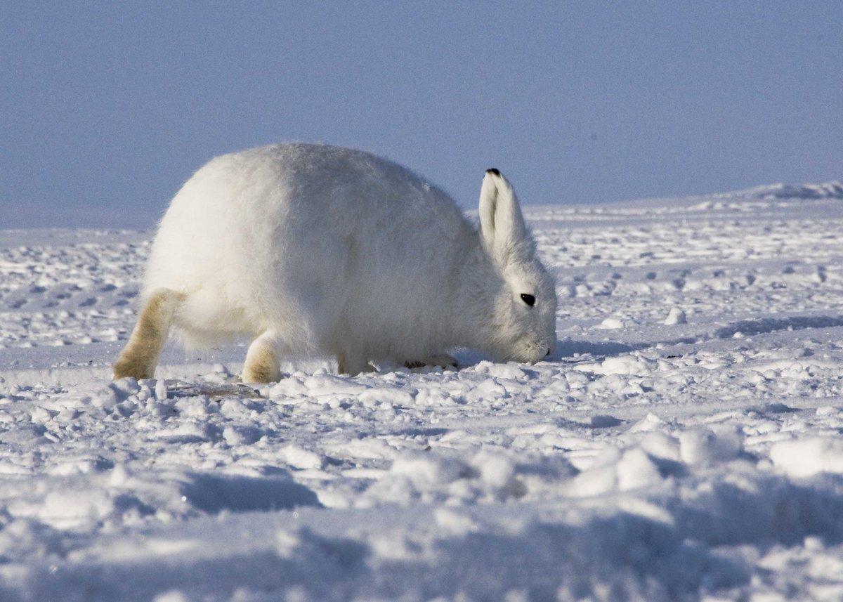 Картинка полярный заяц для детей