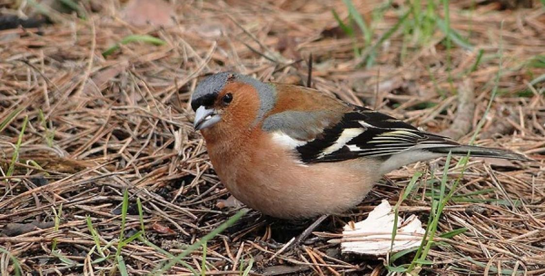 Фото и названия лесных птиц расовой