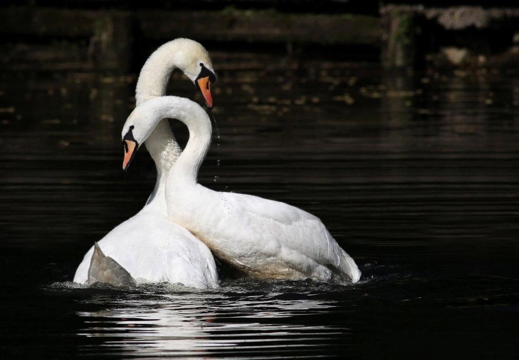 Лебедь черный и белый фото картинки