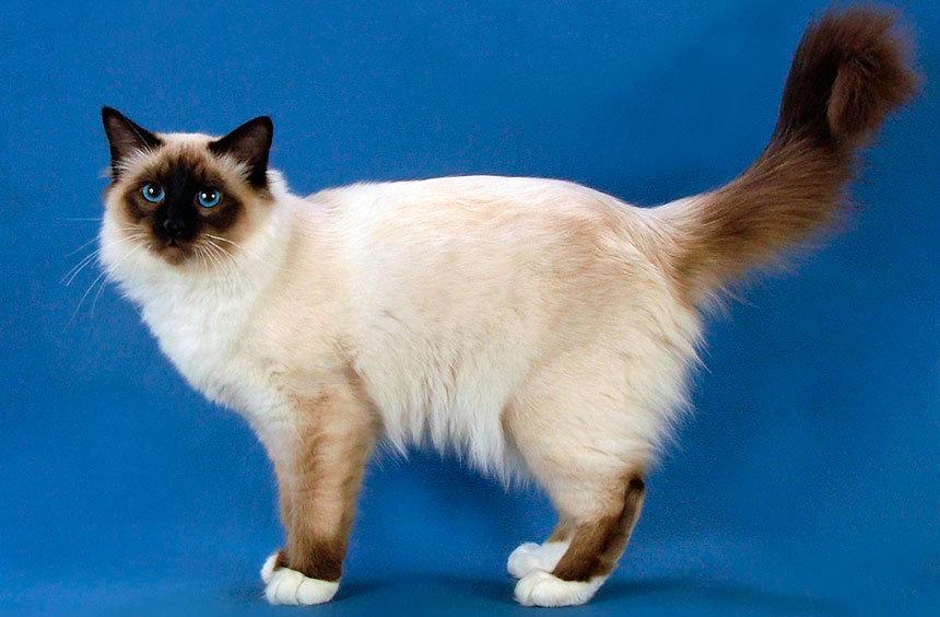 разновидности кошек с картинками показывает регулировщик