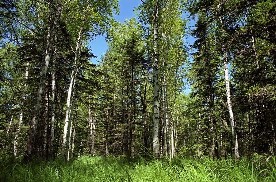 Картинка лес смешанный лес
