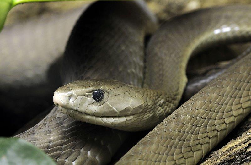 Змея Черная Мамба Размеры