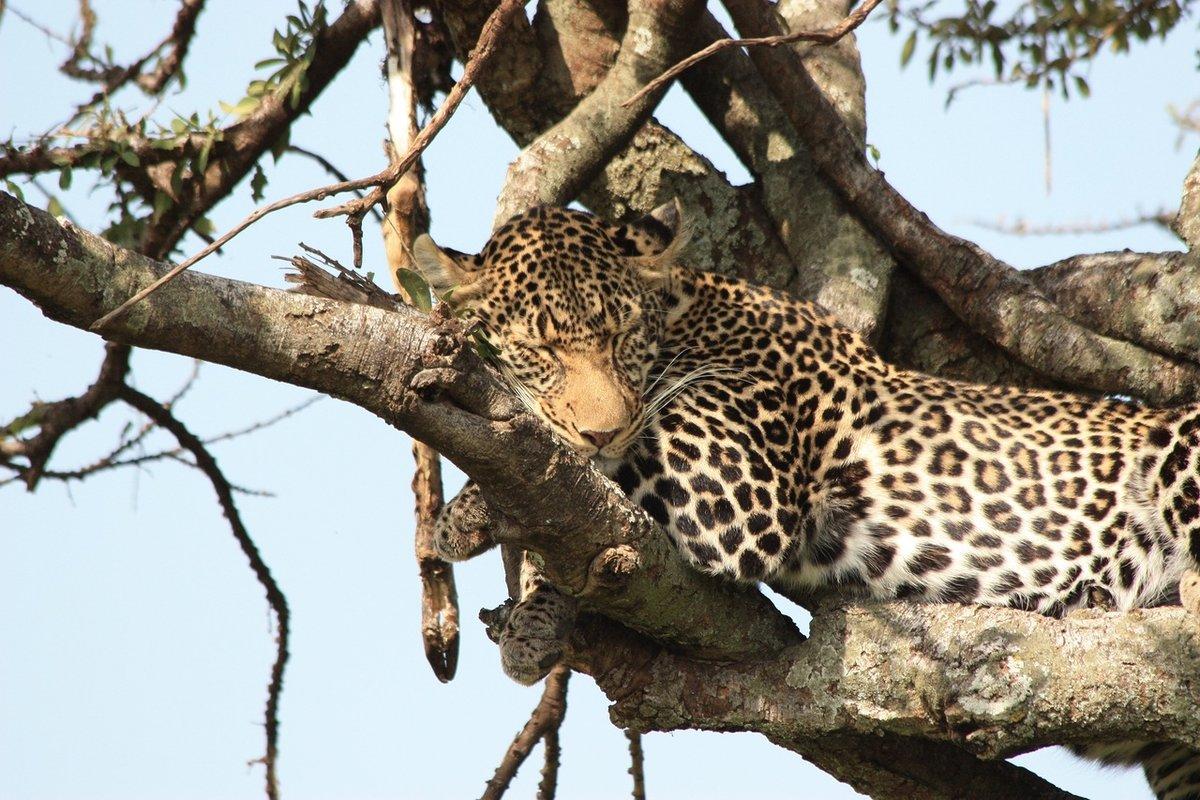 картинки африканского леопарда было