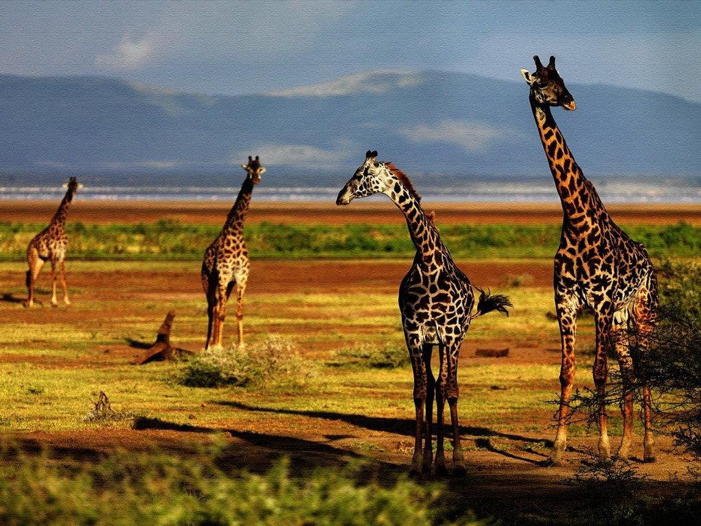 Картинки красивые жирафы, бабушки внуку открытки