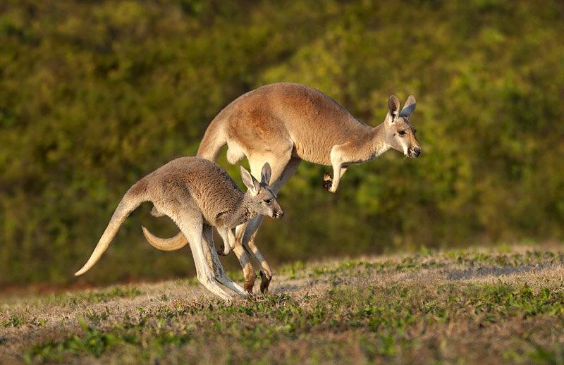 Картинки кенгуренка с мамой