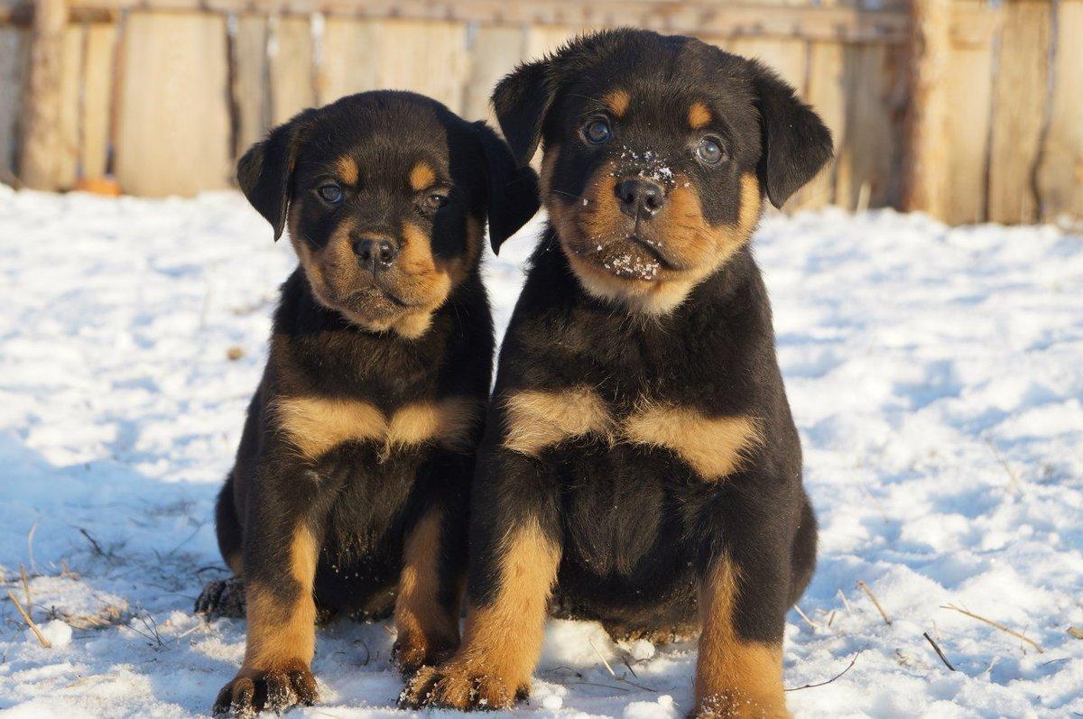 Картинки щенки ротвейлера