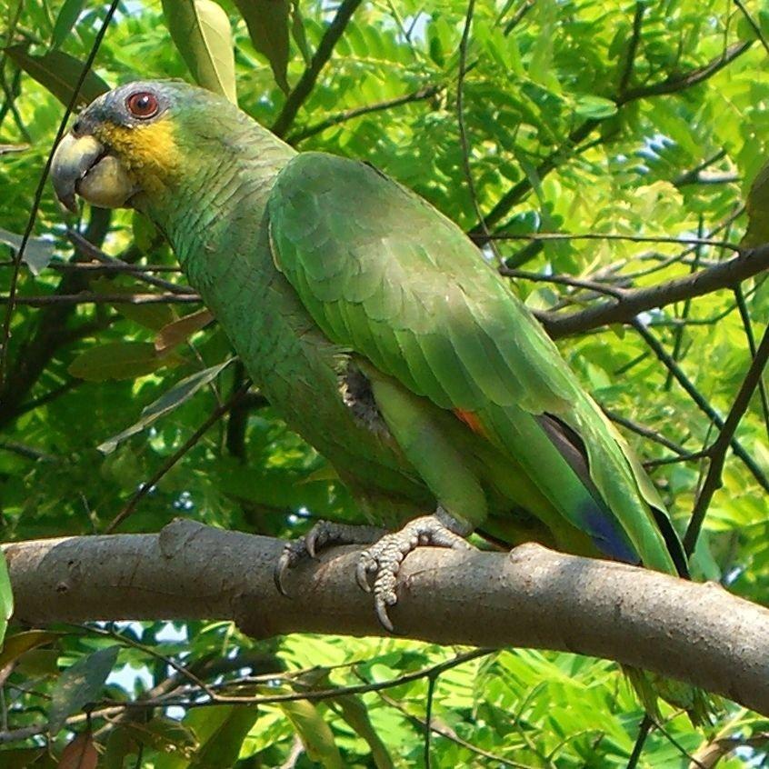 Картинки попугая амазонки