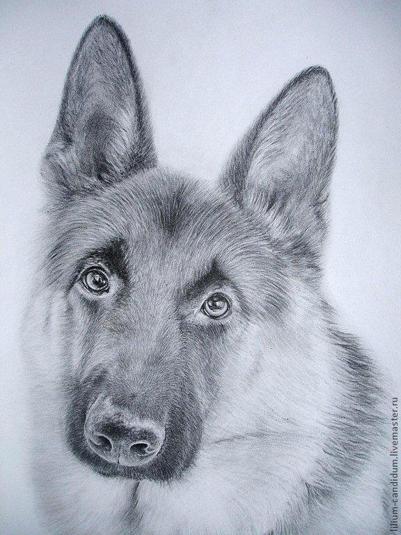 рисунок немецкой овчарки карандашом в картинках россии