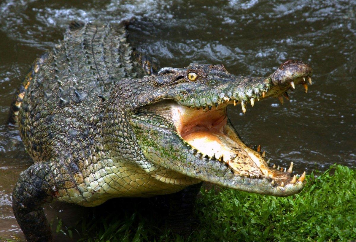 Рисует, картинки красивые крокодилов
