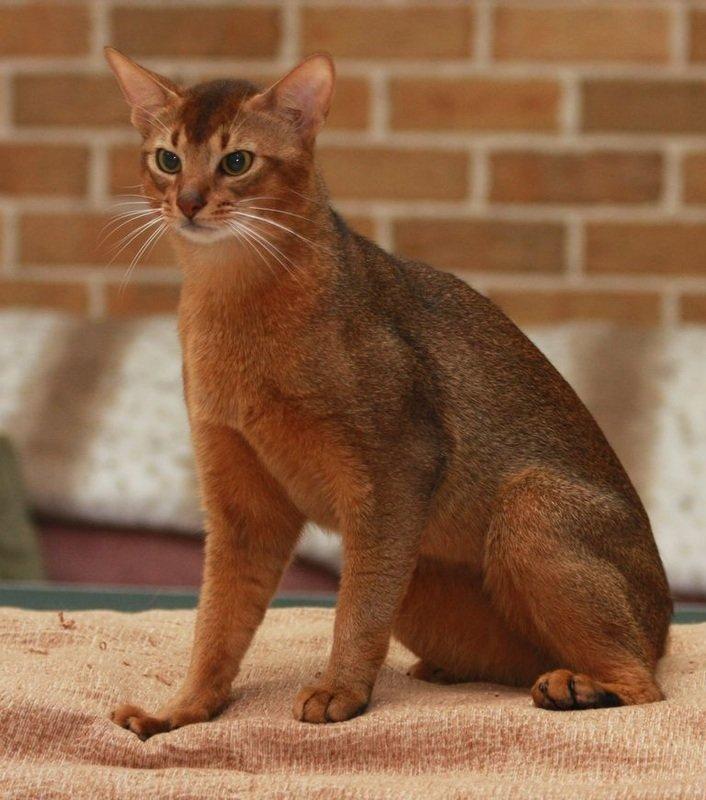 также абиссинские кошки европейский тип фото настоящее