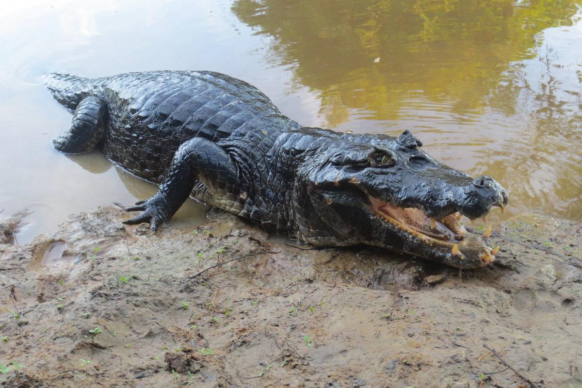 Черный крокодил картинка