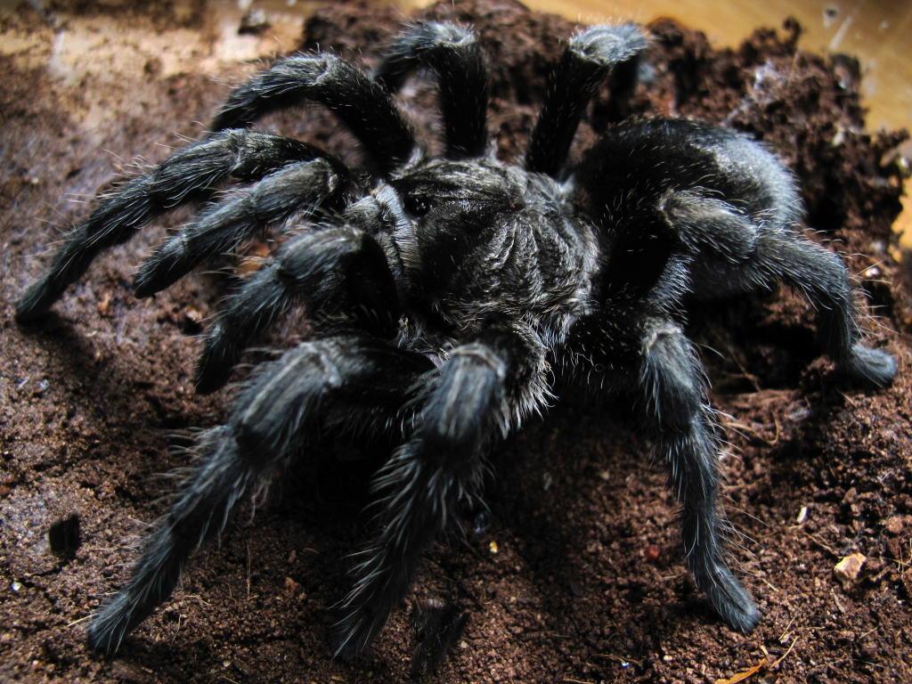 можете паук черного цвета фото и их описание объясните мне, сделать
