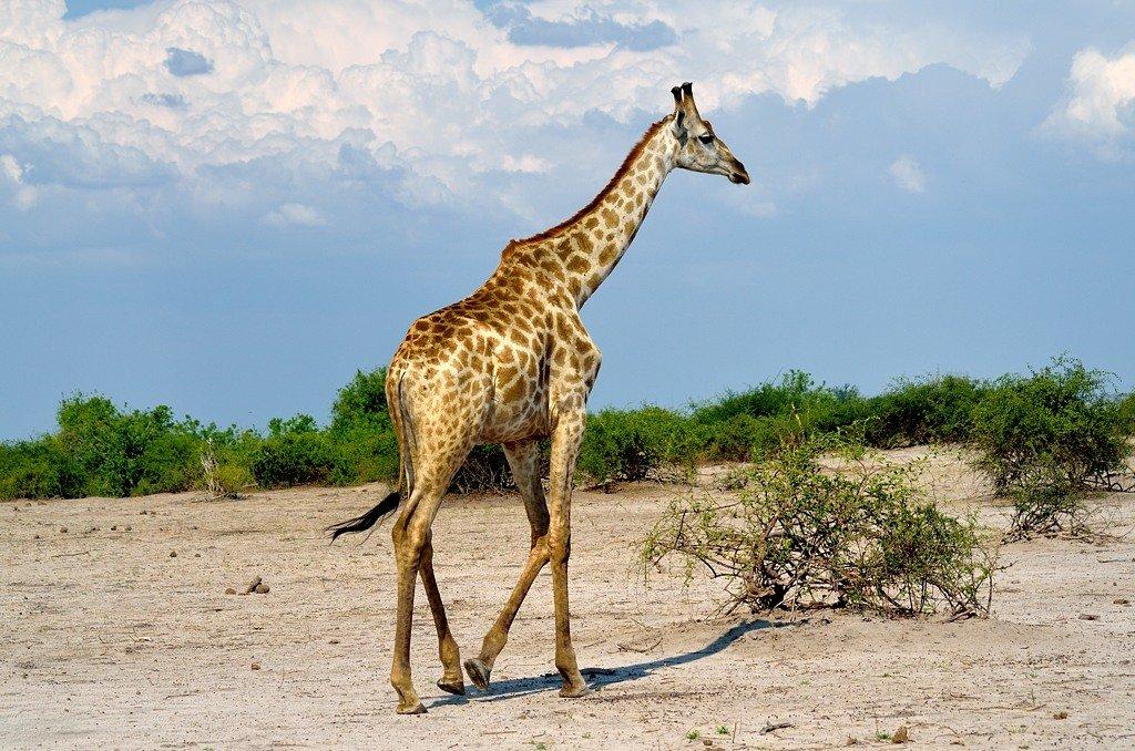 картинки верблюд жираф
