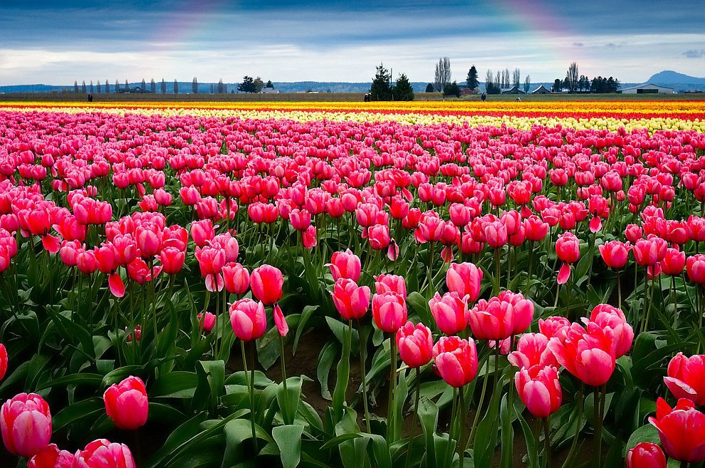 Картинки беззубые, открытка поля тюльпанов