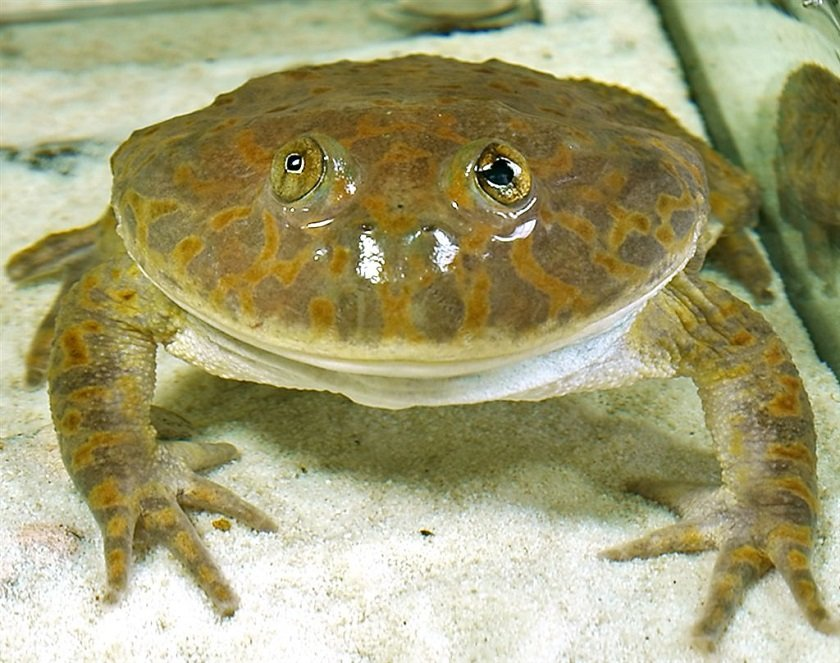 садоводы представляют виды жаб фото и названия многом благодаря его