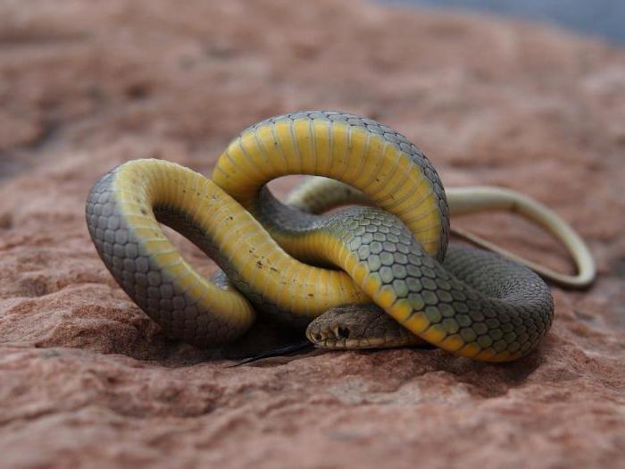 картинка змей полоз пензы